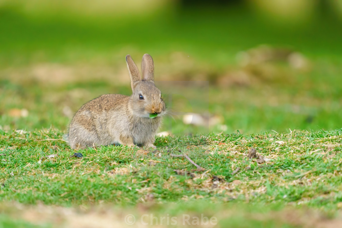 """Young European Rabbit (Oryctolagus cuniculus) nibbling on a piece of leaf,..."" stock image"