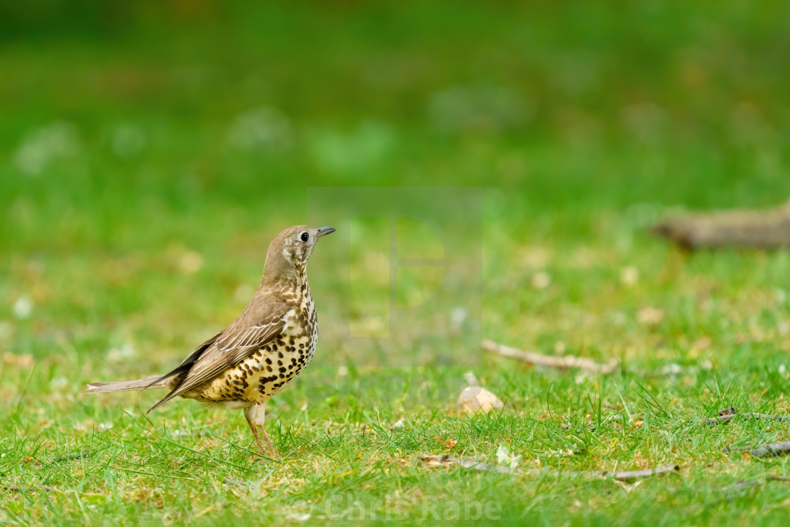 """Mistle Thrush (Turdus viscivorus) standing to atention in the grass, taken in..."" stock image"