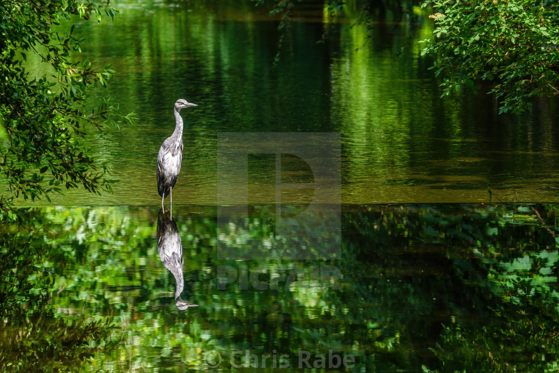 """Grey Heron (Ardea cinerea) reflected in the River Crane, West London"" stock image"