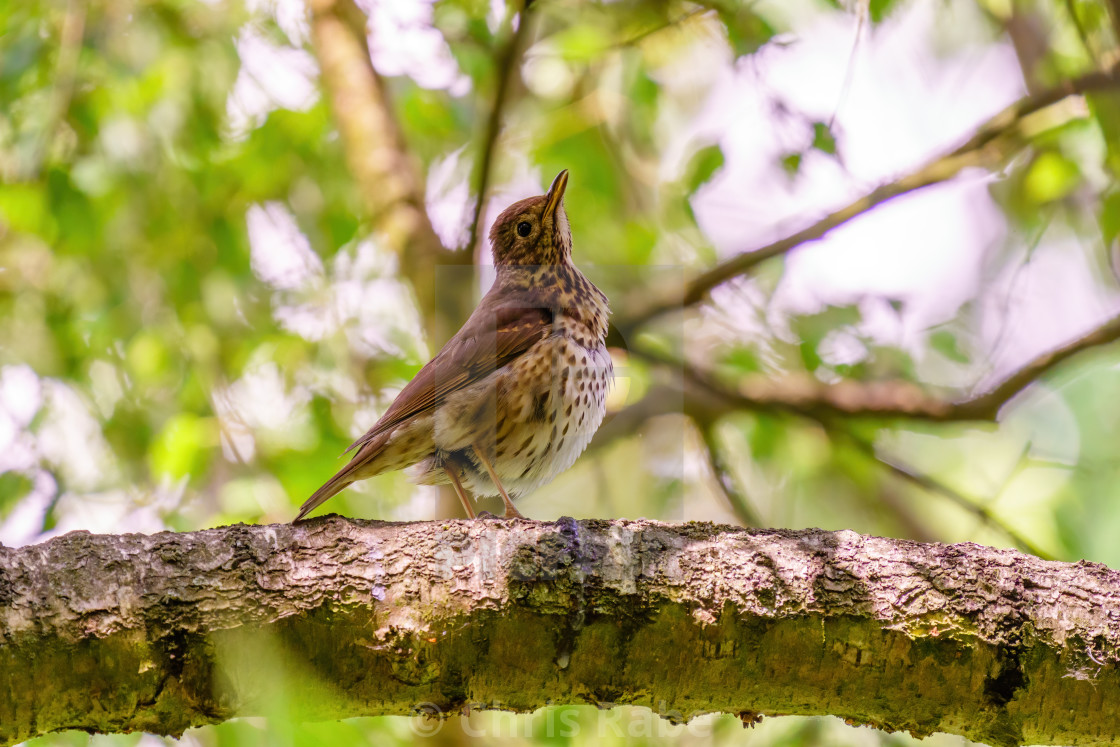 """Song Thrush (Turdus philomelos) in shade of a tree, taken in the UK"" stock image"