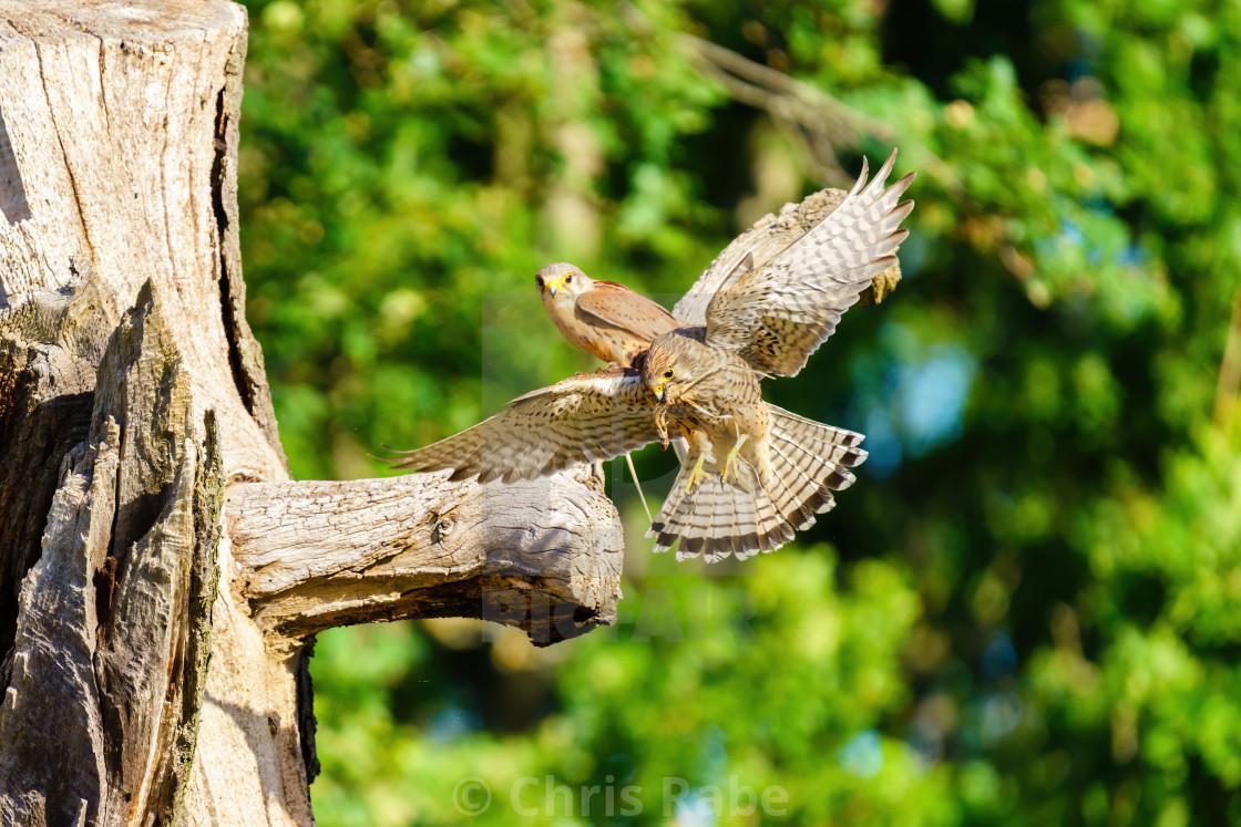 """Common Kestrel (Falco tinnunculus) female taking a lizard to feed her young,..."" stock image"