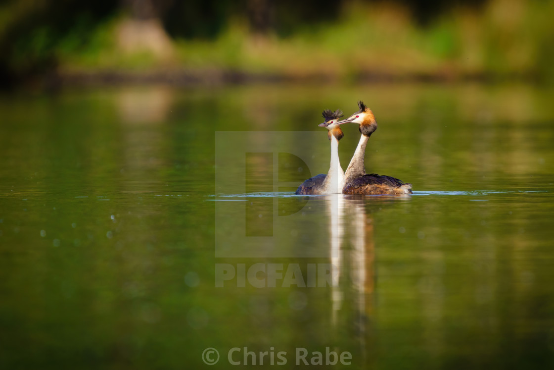 """Pair of Great Crested Grebe (Podiceps cristatus) on a still pond, taken in..."" stock image"