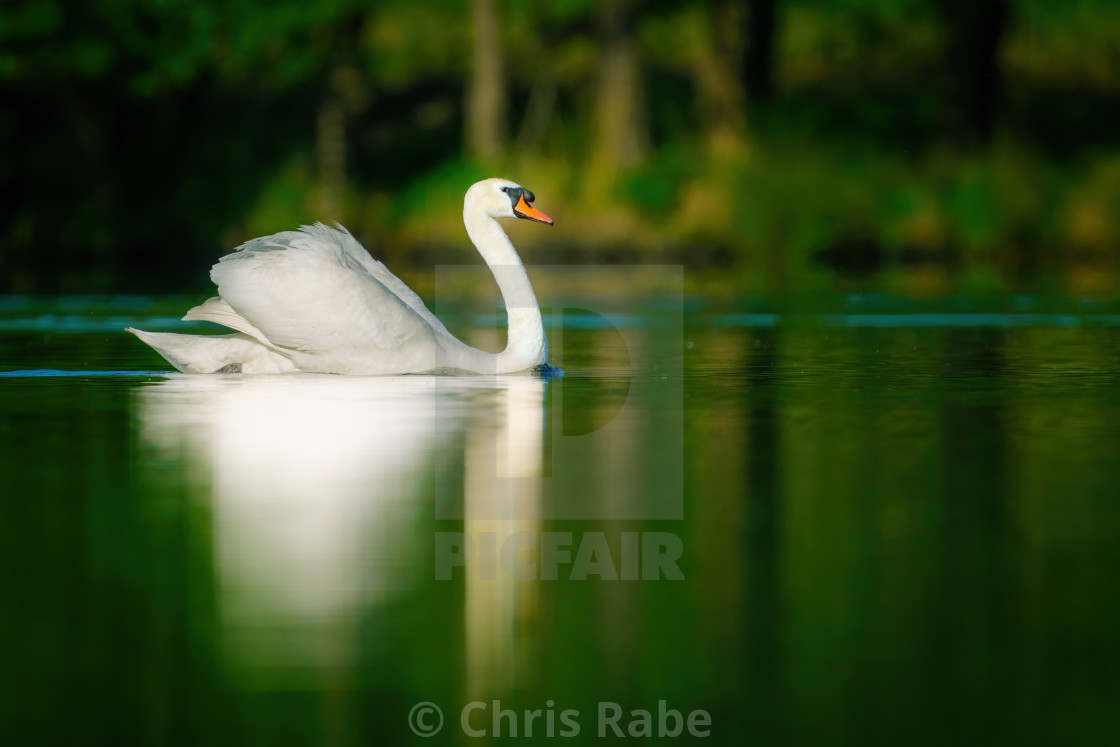 """Beautiful adult Mute swan (Cygnus olor) gliding over the surface of a still..."" stock image"