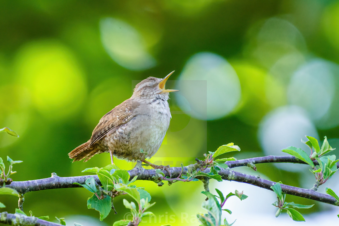 """A singing Wren (Troglodytes troglodytes) with it's eyes closed, taken in..."" stock image"