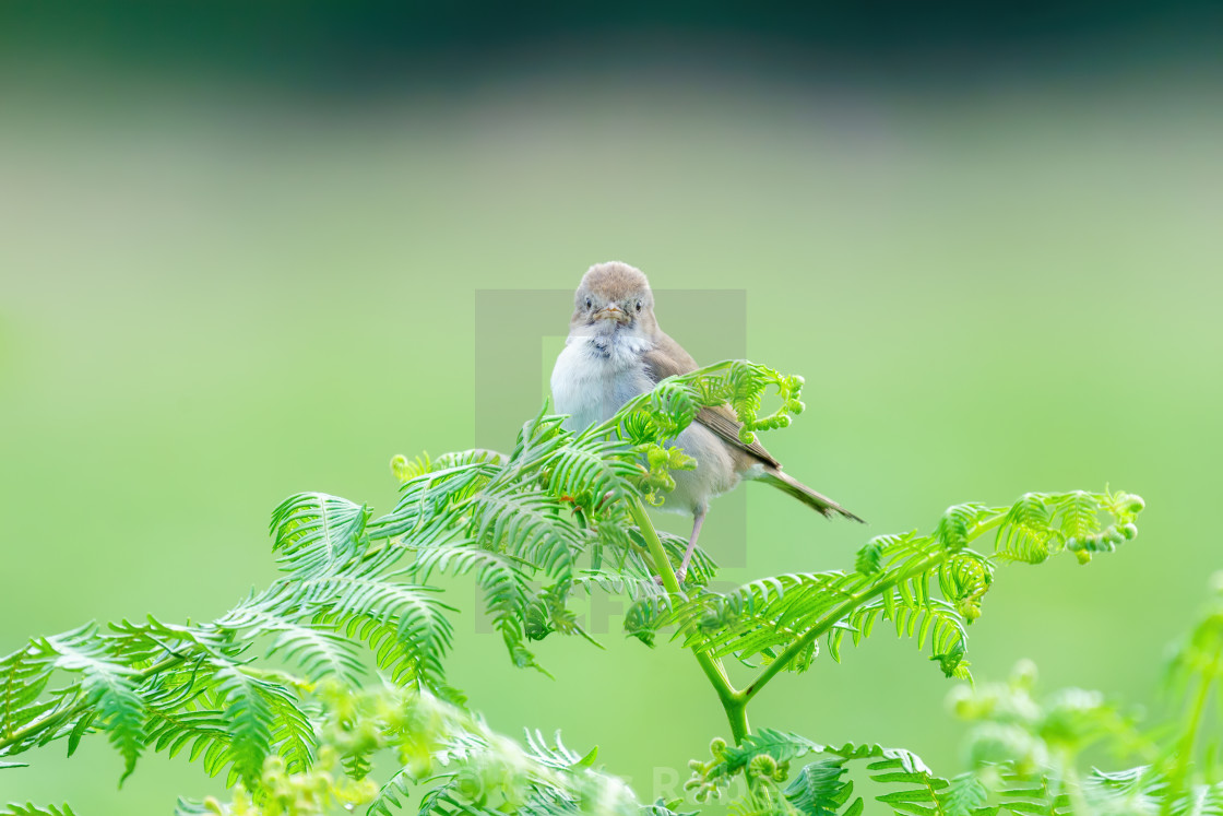"""""""Common Whitethroat (Sylvia communis) female looking directly into camera,..."""" stock image"""
