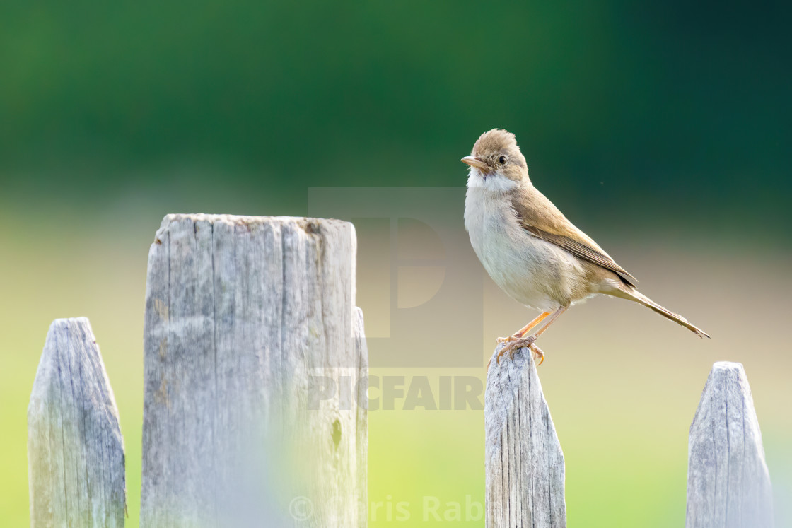 """Common Whitethroat (Sylvia communis) sitting proudlyon a fence post, taken in..."" stock image"