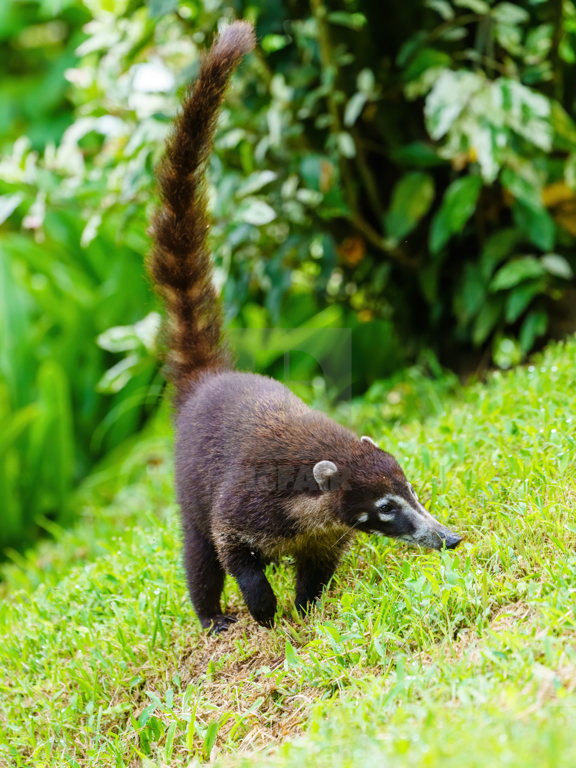 """Ring-Tailed Coati (Nasua nasua rufa) in green grass, taken in Costa Rica"" stock image"