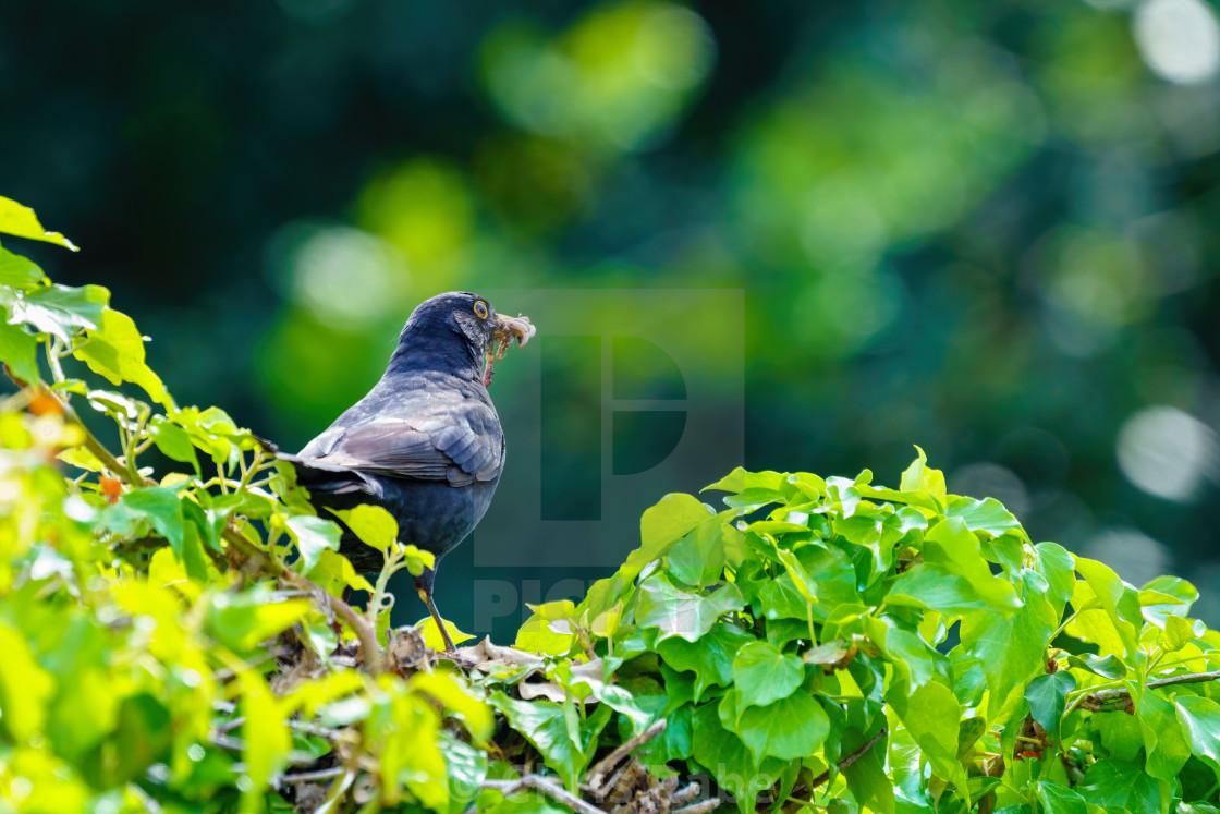 """""""Blackbird (Turdus merula) male with worms in its beak, taken in London, England"""" stock image"""