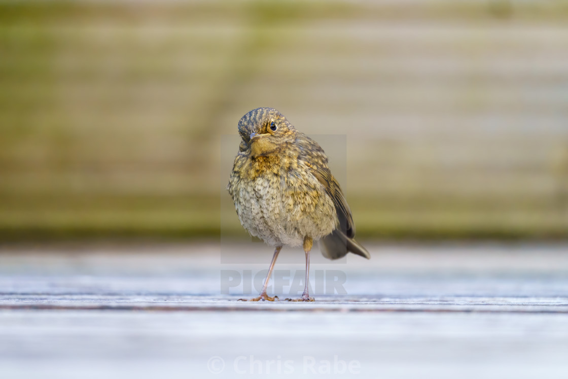 """European Robin (Erithacus rubecula) on ground with head cocked to the side,..."" stock image"