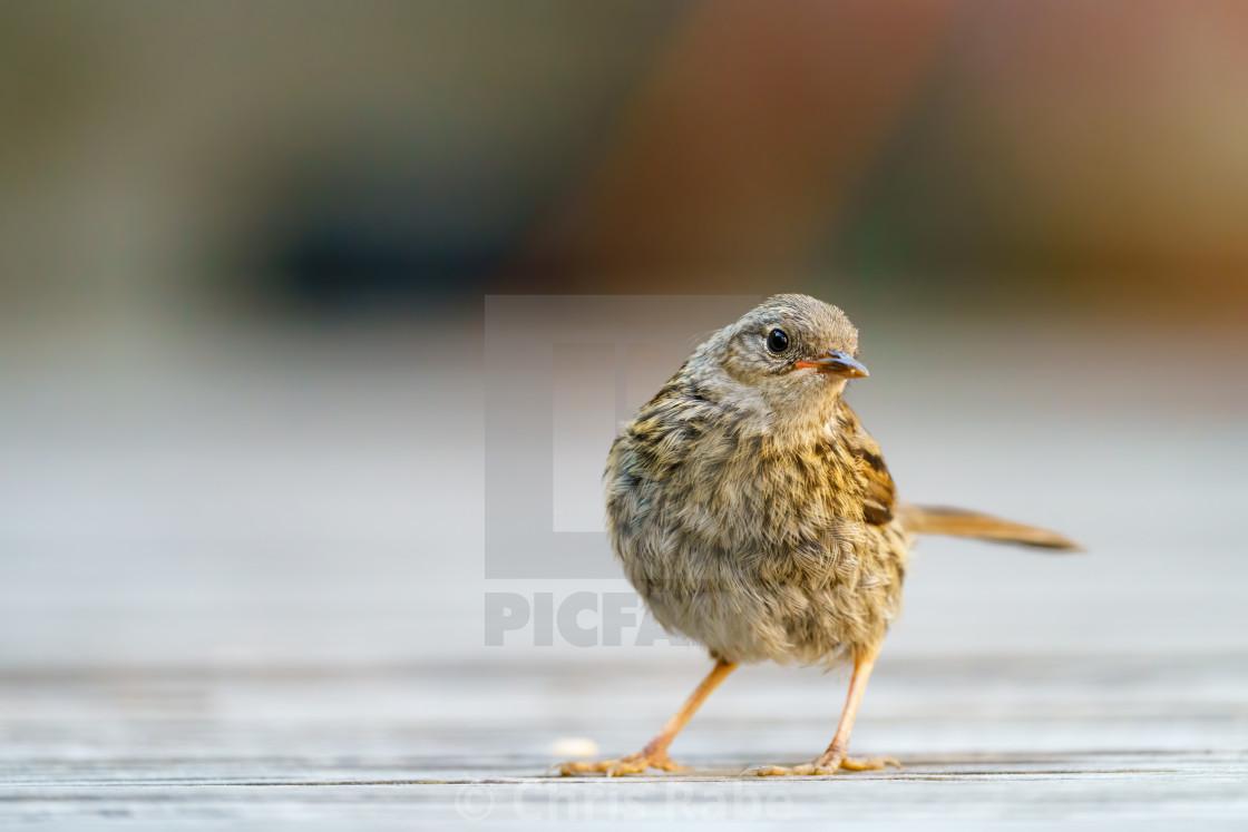 """""""Dunnock (Prunella modularis) juvenile, striking a pose on garden decking,..."""" stock image"""