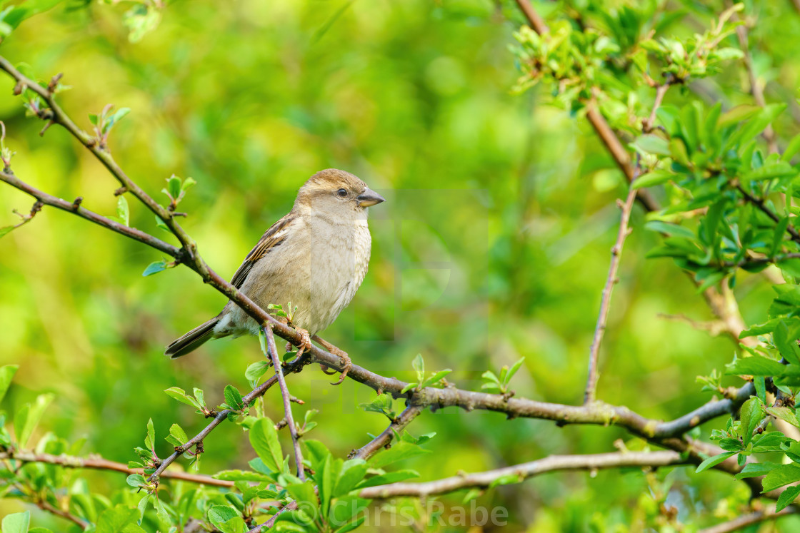 """House sparrow (Passer domesticus) female house sparrow perched on a twig in..."" stock image"