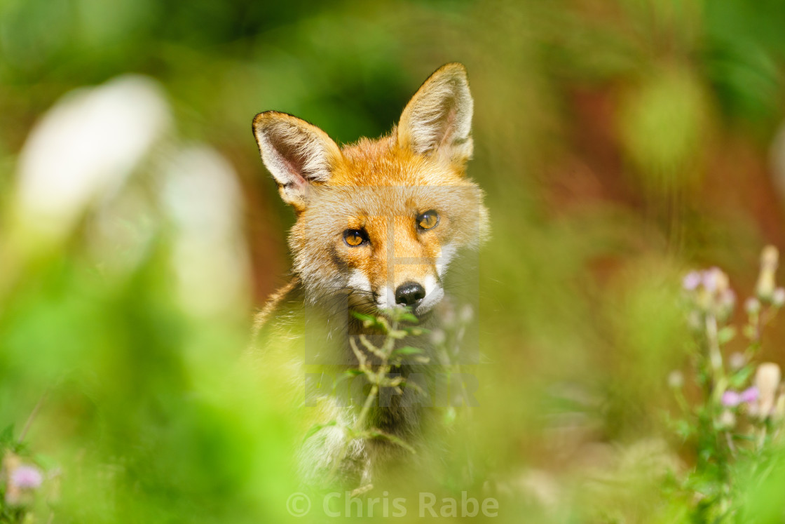 """Red Fox (Vulpes vulpes) looking curiously into camera, taken in London, England"" stock image"