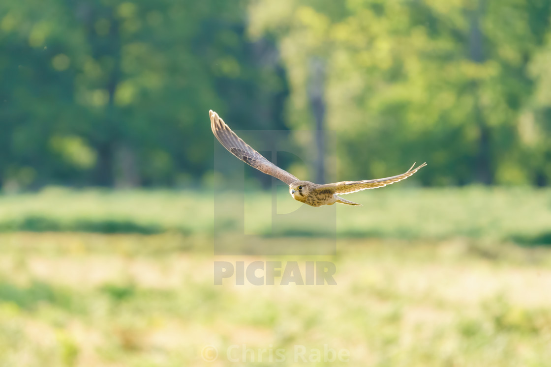 """Common Kestrel (Falco Tinnunculus) juvenile in flight, taken in London, England"" stock image"