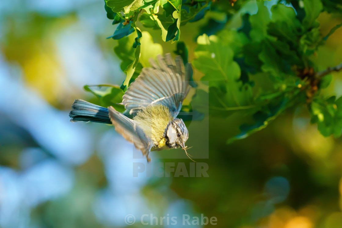 """Blue Tit (Cyanistes caeruleus) taking off, with a spider in it's beak, taken..."" stock image"