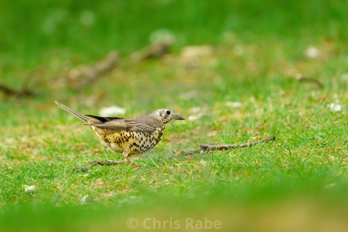 """Mistle Thrush (Turdus viscivorus) searching the ground for food, taken in..."" stock image"