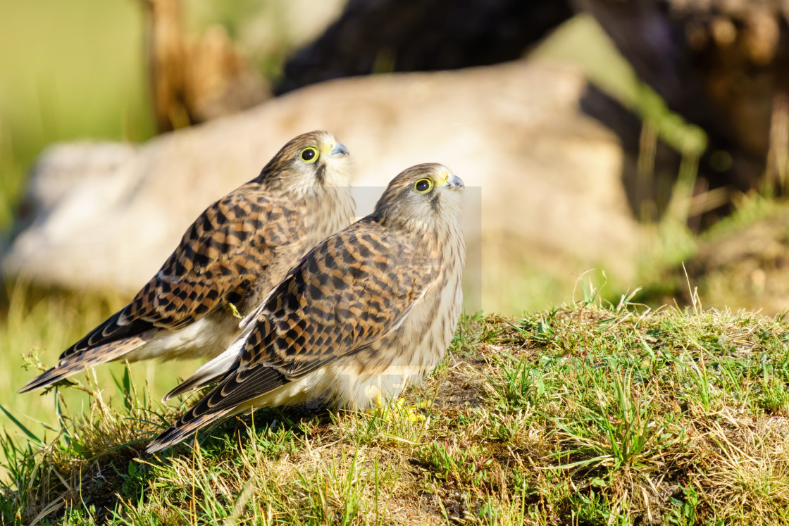 """Common Kestrel (Falco Tinnunculus) juvenile siblings looking up together,..."" stock image"