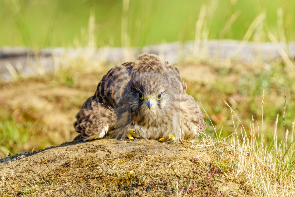"""Common Kestrel (Falco Tinnunculus) juvenile sitting in a funny pose on the..."" stock image"