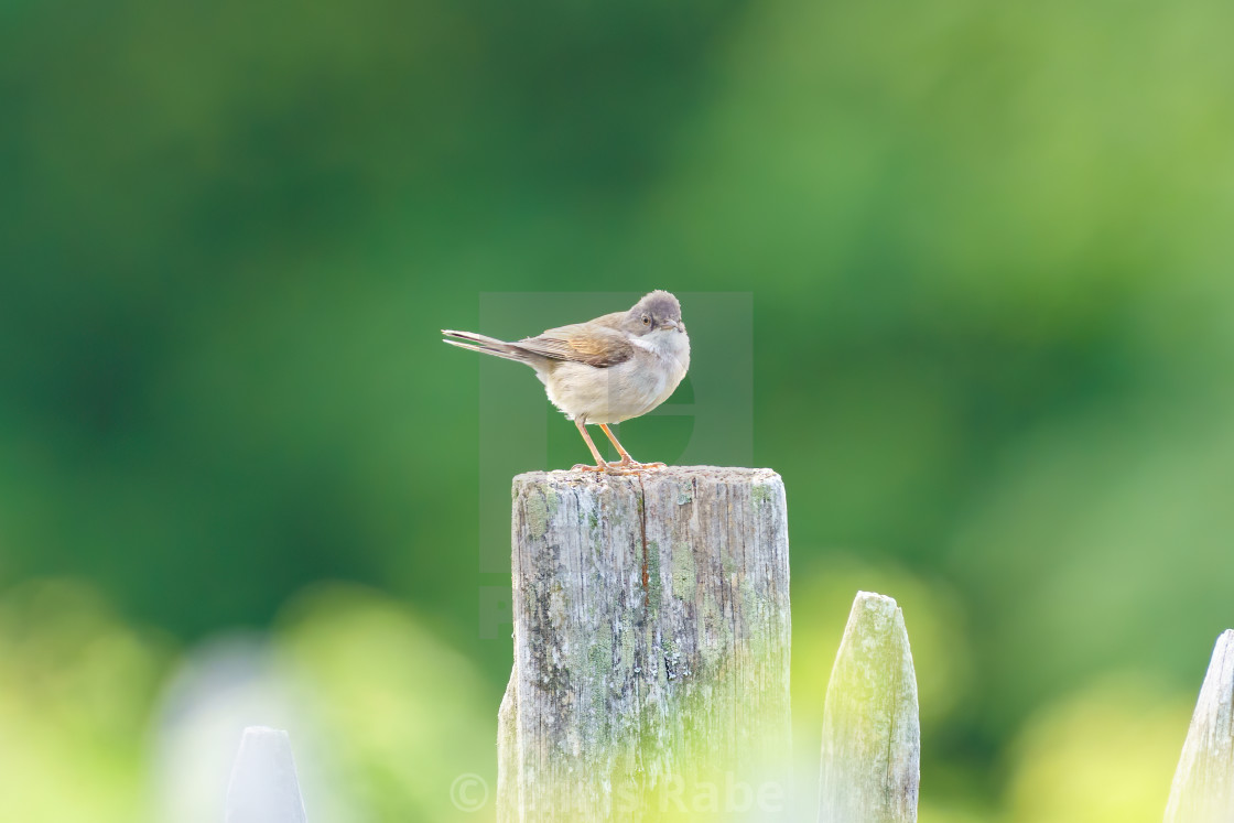 """Common Whitethroat (Sylvia communis) male on a fence post, taken in London"" stock image"