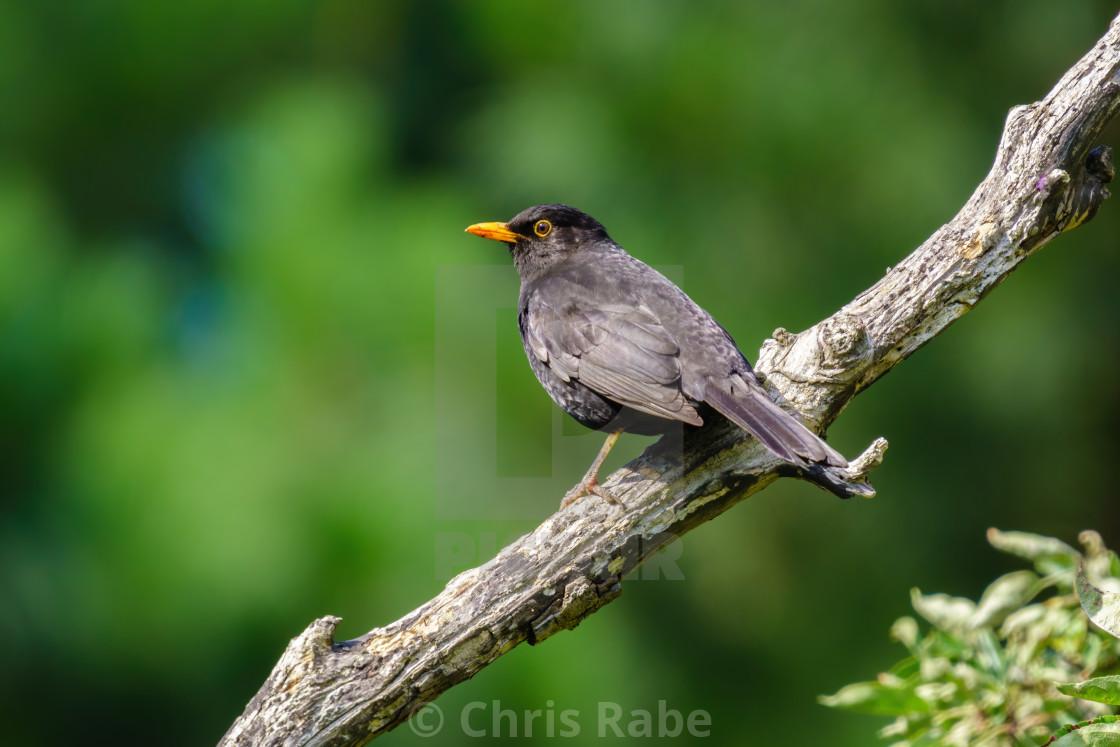 """""""Male Blackbird (Turdus merula) perched on a branch in summer, taken in..."""" stock image"""