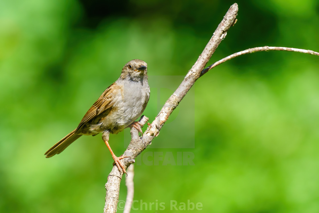 """Handsome Dunnock (Prunella modularis) on a sunny summer day in London, England"" stock image"
