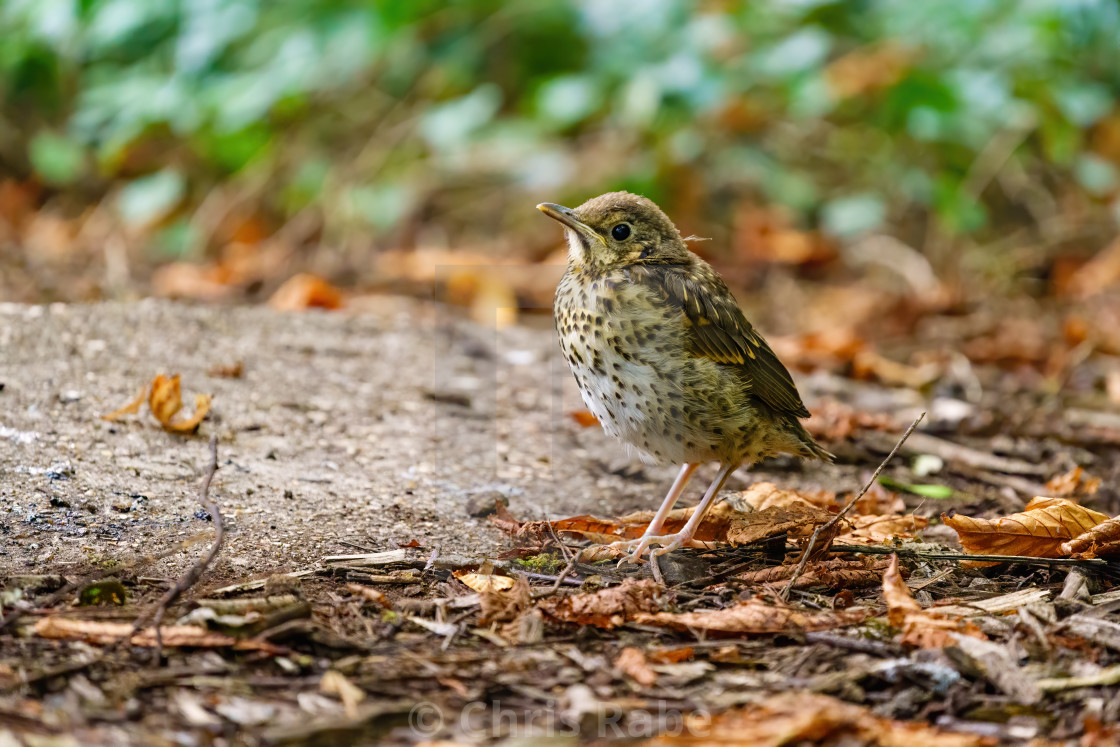 """Mistle Thrush (Turdus viscivorus) juvenile on ground, taken in Crane Park..."" stock image"