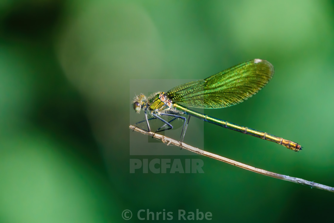 """Southern Emerald Damselfly (Lestes barbarus) perched on the end of a twig,..."" stock image"