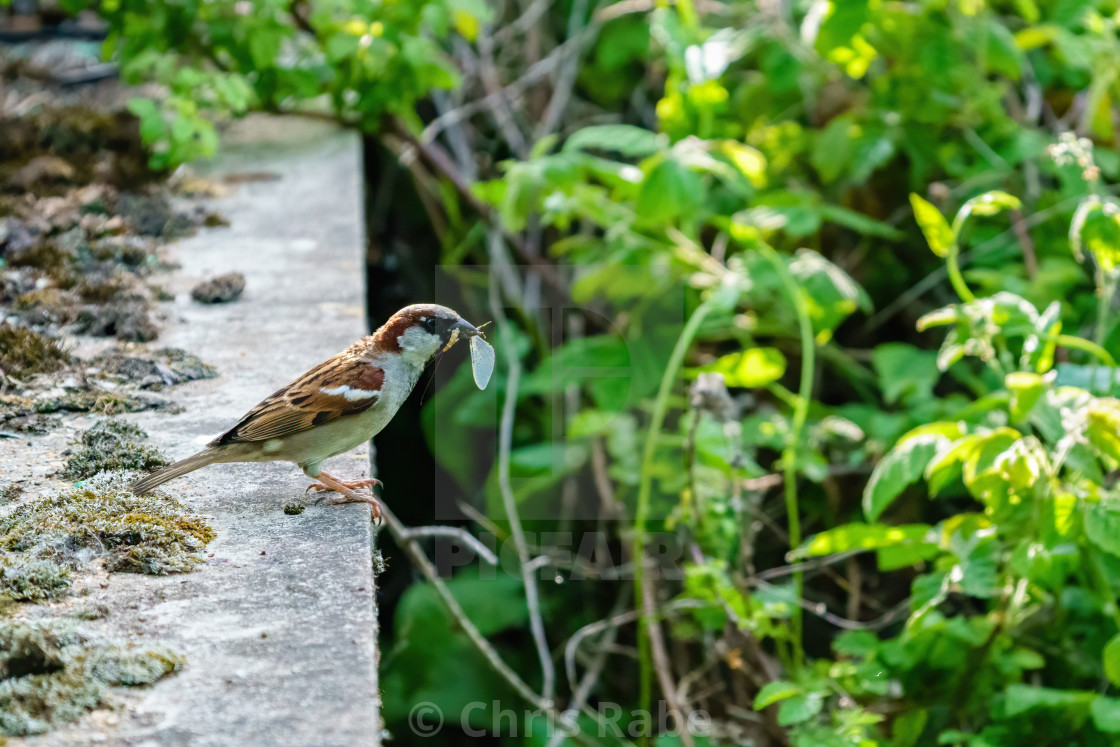 """""""Male House sparrow (Passer domesticus) with insect in it's beak, taken in..."""" stock image"""
