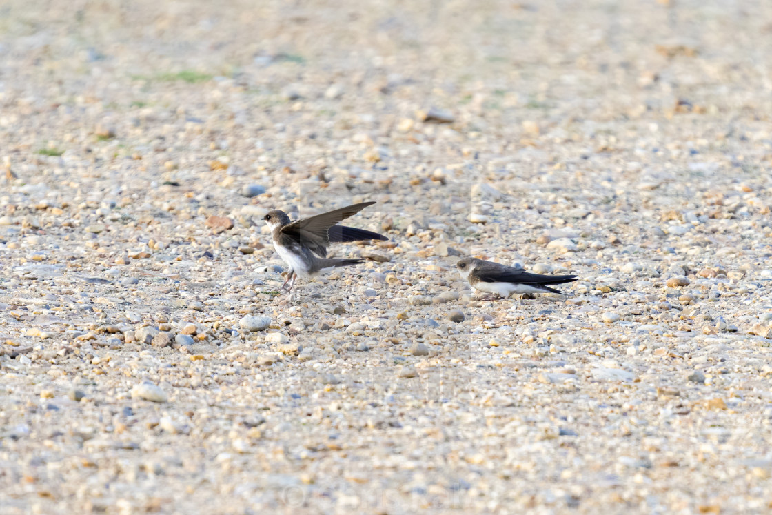 """""""Pair of Sand Martin (Riparia riparia) on the ground in a park in London, England"""" stock image"""