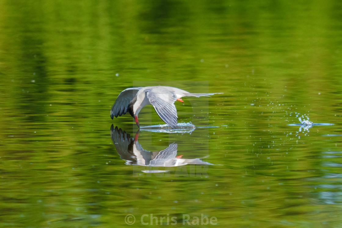 """Common Tern (Sterna hirundo) in flight skimming surface of pond to catch..."" stock image"