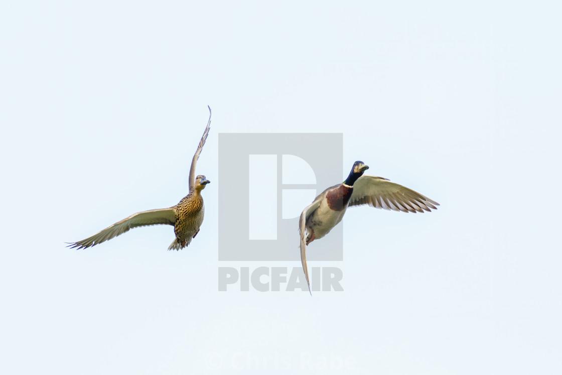 """Pair of Mallard Duck (Anas platyrhynchos) in flight, taken in London, England"" stock image"