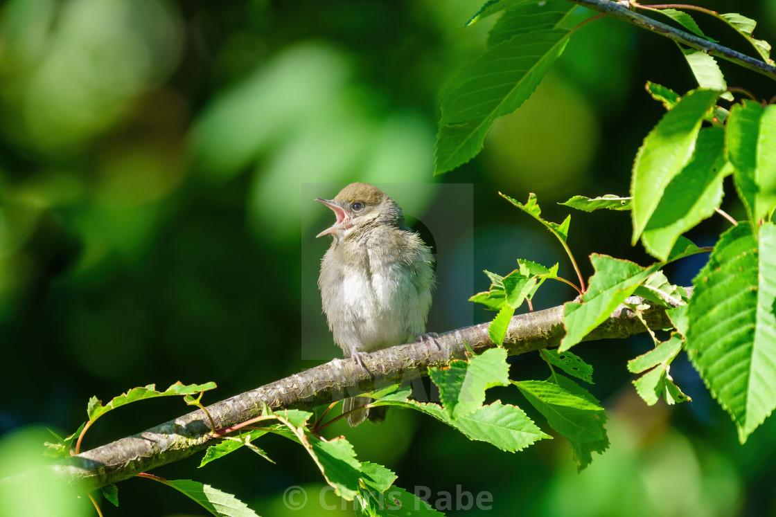 """Juvenile Blackcap (Sylvia atricapilla) singing on a sunny summer day, London,..."" stock image"