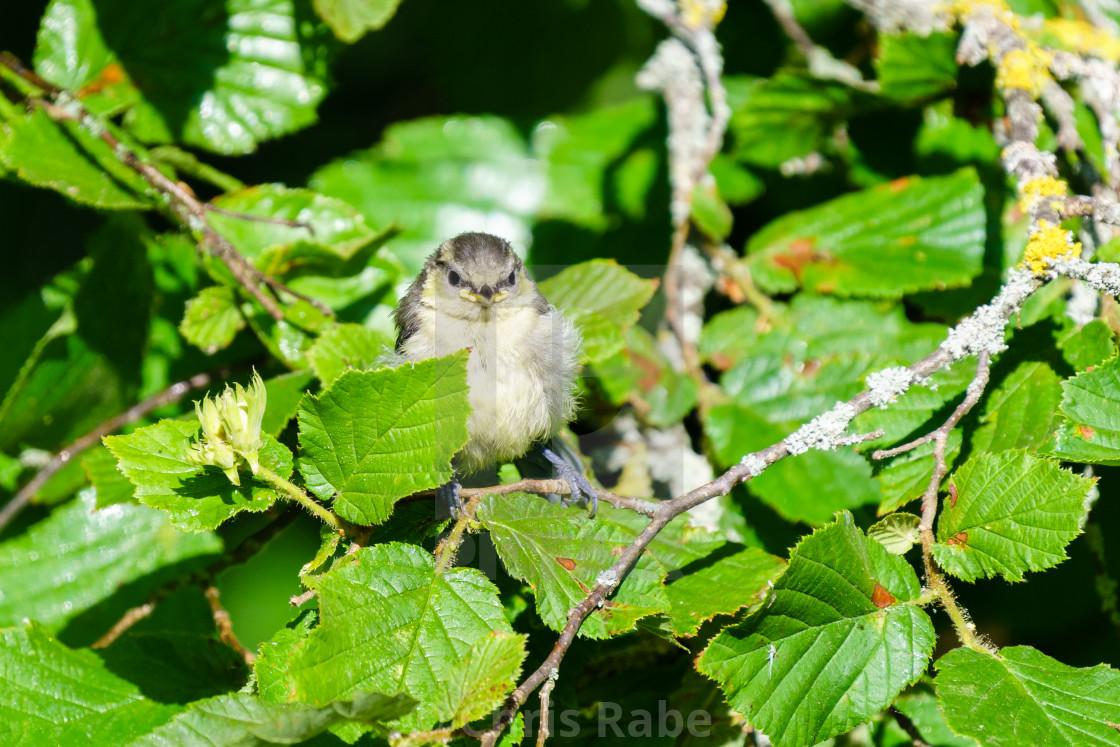 """""""Juvenile Blue Tit (Cyanistes caeruleus) looking towards camera, taken in London"""" stock image"""