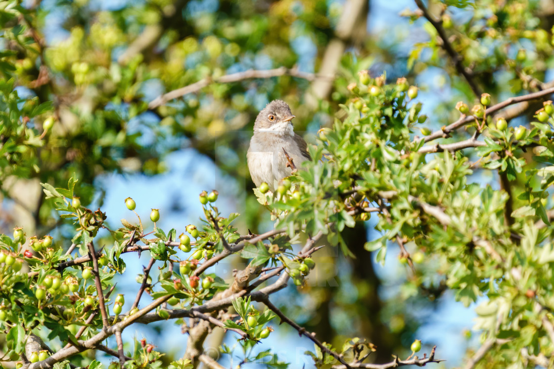 """Common Whitethroat (Sylvia communis) male sitting in a bush, taken in the UK"" stock image"