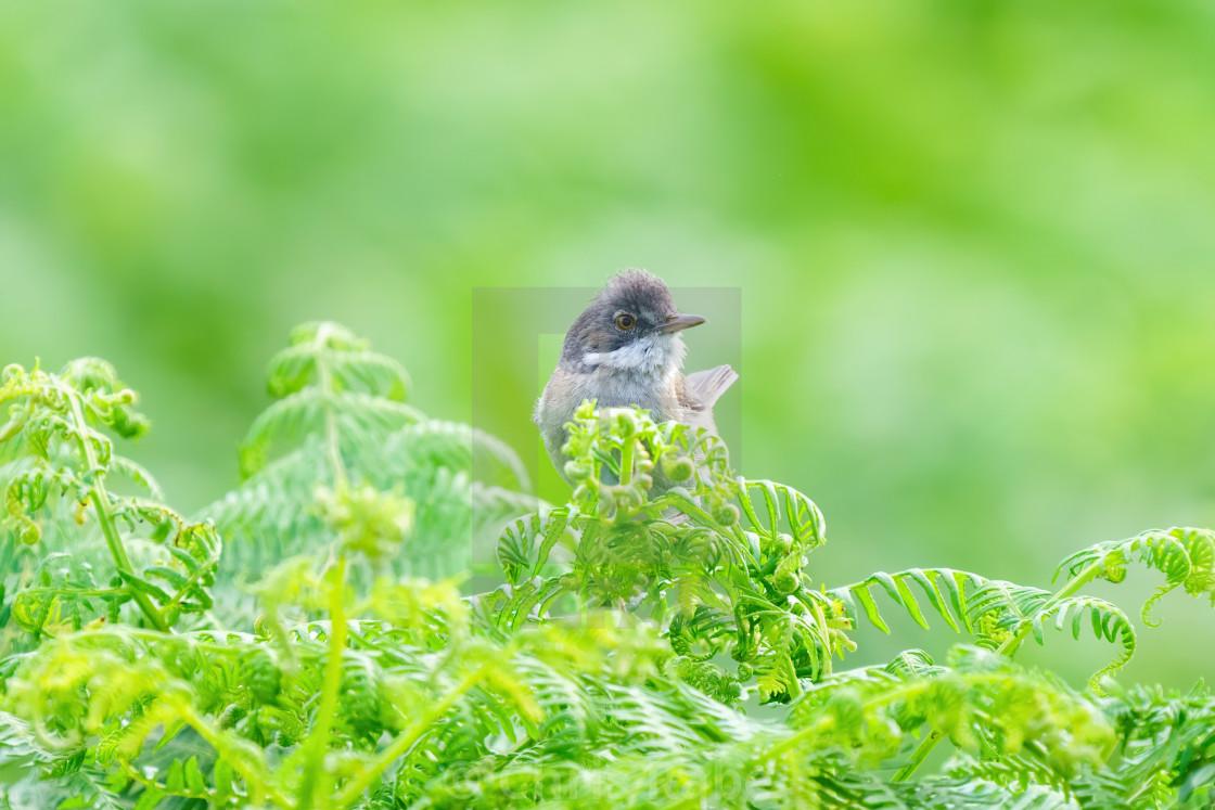 """Common Whitethroat (Sylvia communis) male perched on bracken, taken in Lonon, UK"" stock image"