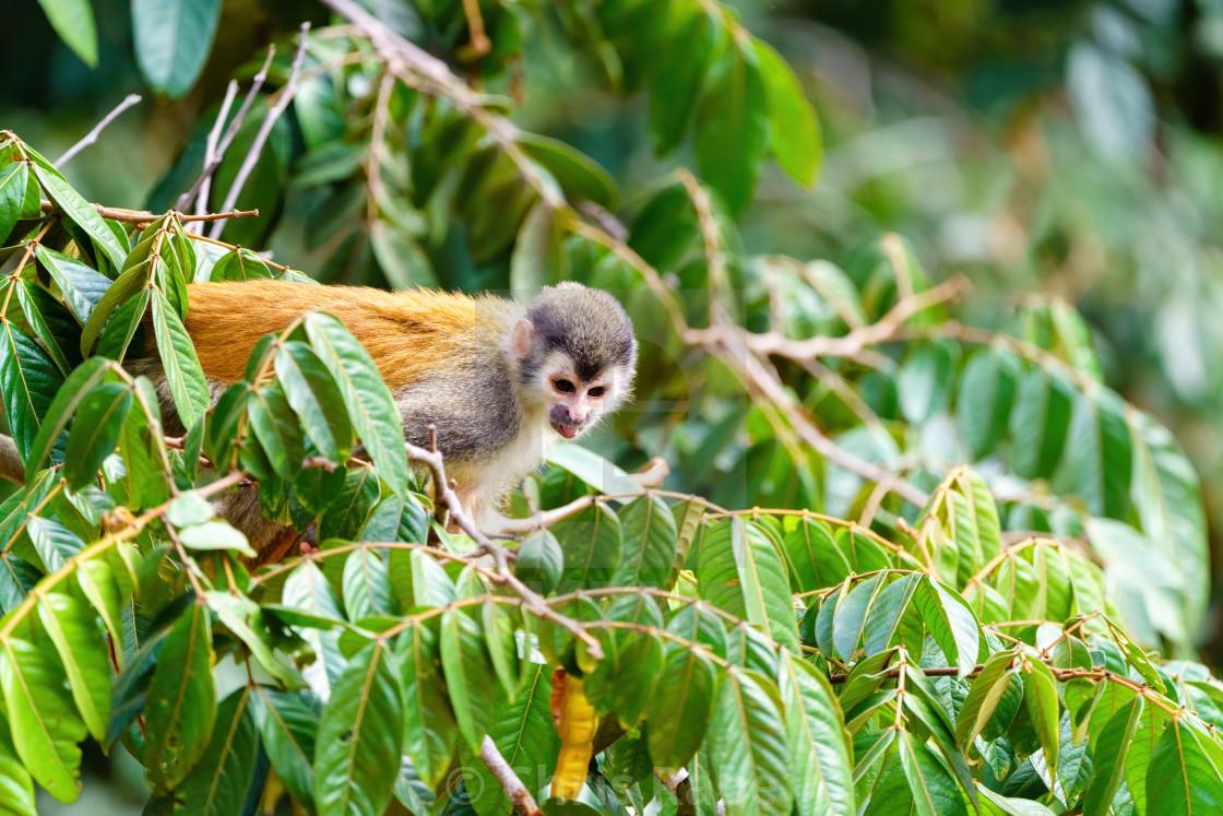 """""""Common Squirrel Monkey (Saimiri sciureus) taken in Manual Antonio, Costa Rica"""" stock image"""