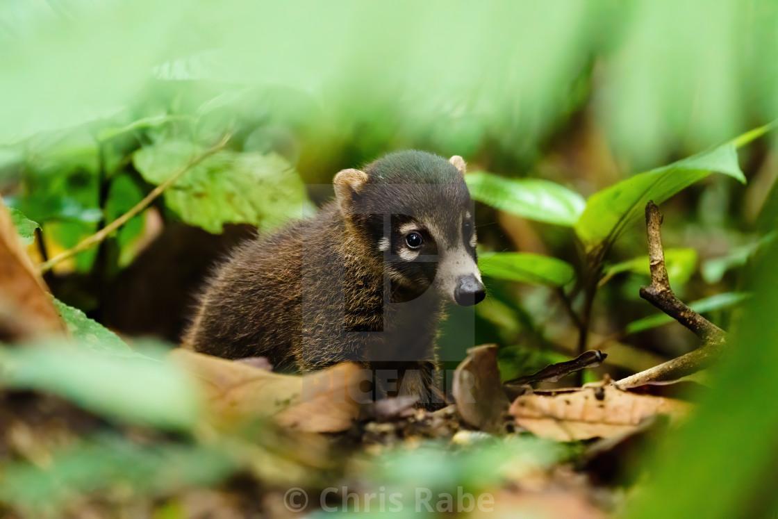 """Baby Ring-Tailed Coati (Nasua nasua rufa) looking wearily at camera, taken in..."" stock image"
