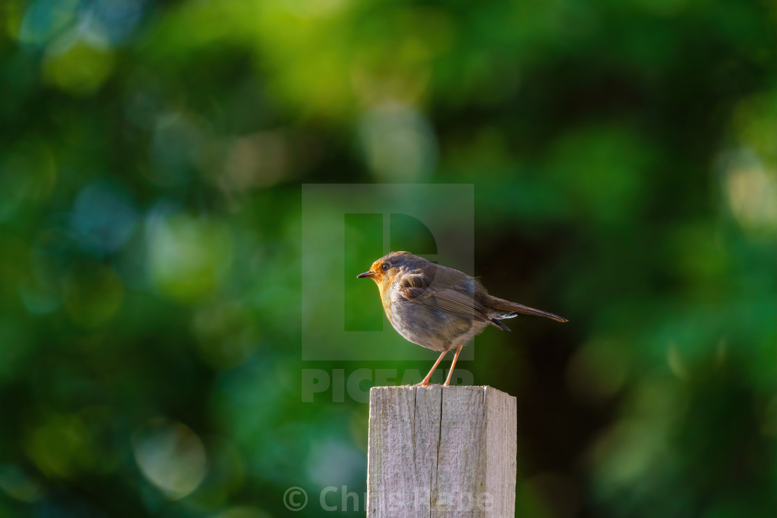 """""""European Robin (Erithacus rubecula) on a wooden fence post, taken in London"""" stock image"""