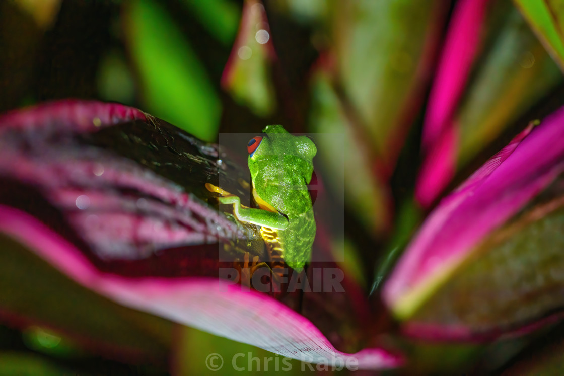 """""""Red-Eyed Tree Frog (Agalychnis callidryas) at night on a lef looking away,..."""" stock image"""