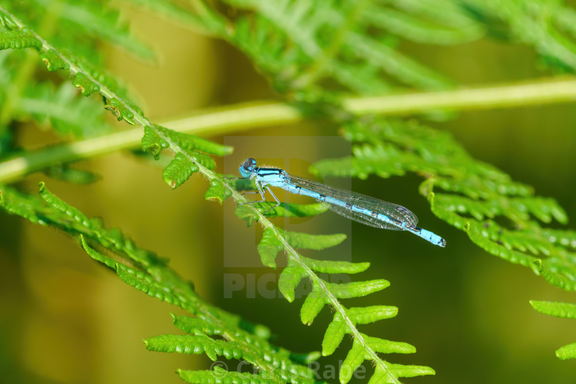 """Common Blue Damselfly (Enallagma cyathigerum) perched on some bracken, taken..."" stock image"