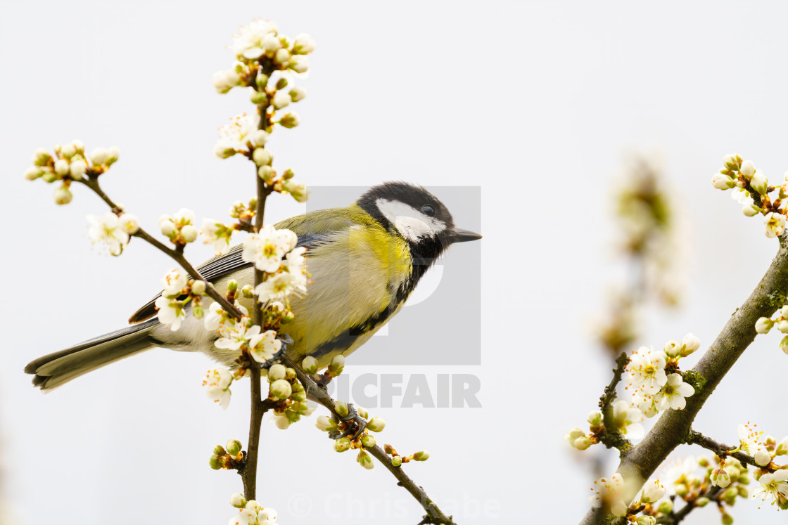 """Great Tit (Parus major) perched in a tree in spring blossoms, taken in London"" stock image"