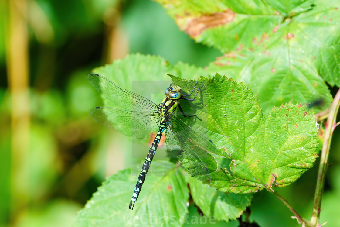 """Southern hawker (Aeshna cyanea) resting on a leaf, taken in the UK"" stock image"