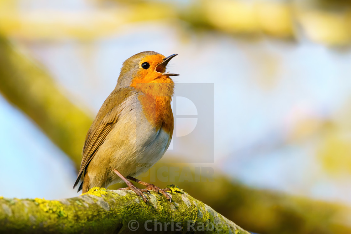 """European Robin (Erithacus rubecula) singing in early morning light, taken in..."" stock image"