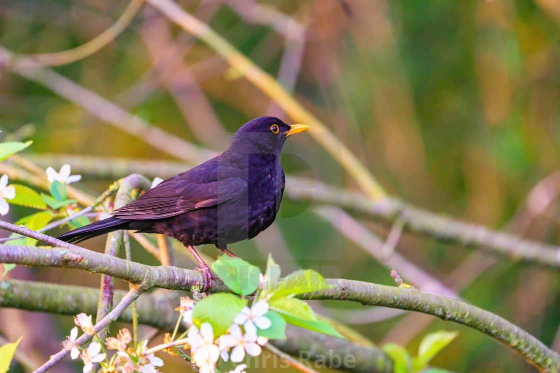 """Blackbird (Turdus merula) perched on a branch in spring, taken in England"" stock image"
