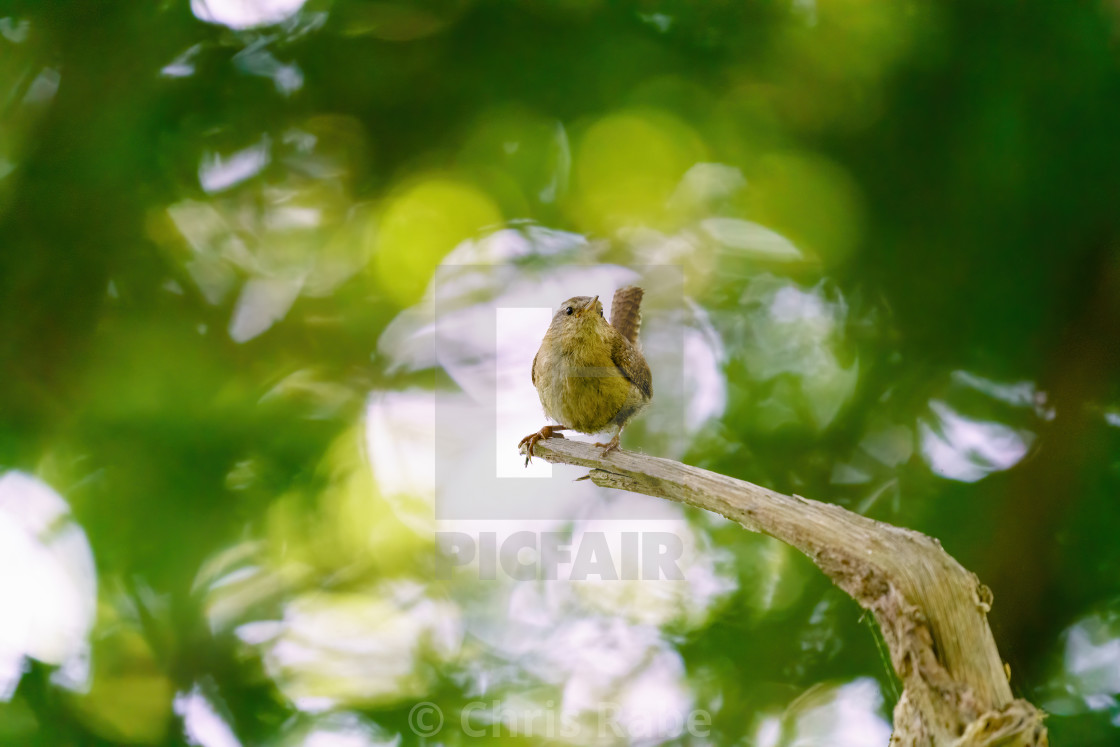 """Wren (Troglodytes troglodytes) perched on a dead branch in deep forest, taken..."" stock image"