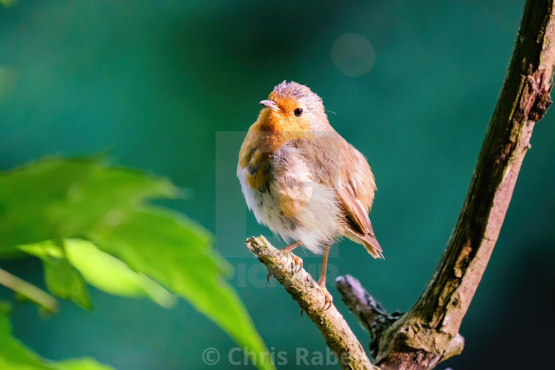 """European Robin (Erithacus rubecula) in early morning light looking back..."" stock image"