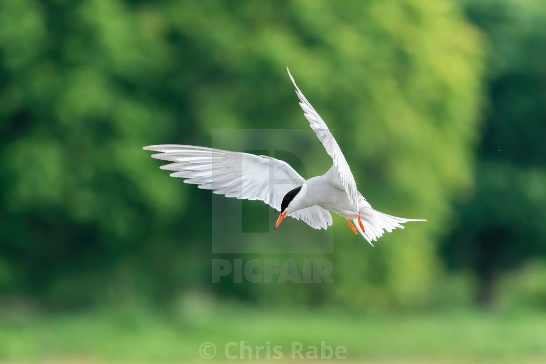 """Common Tern (Sterna hirundo) in flight, taken in London, England"" stock image"