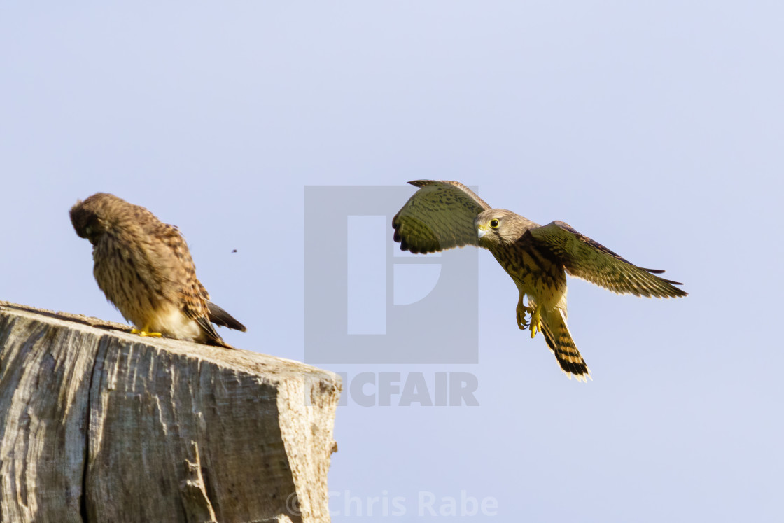 """Common Kestrel (Falco Tinnunculus) coming into to land on top of a tree,..."" stock image"