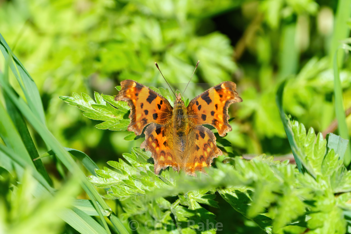 """Comma Buterfly (Polygonia c-album), taken in London, England"" stock image"
