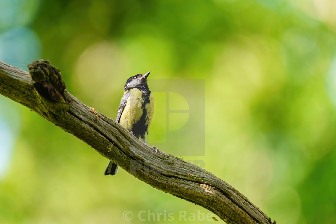 """Great Tit (Parus major) perched on a branch against a blurred background,..."" stock image"