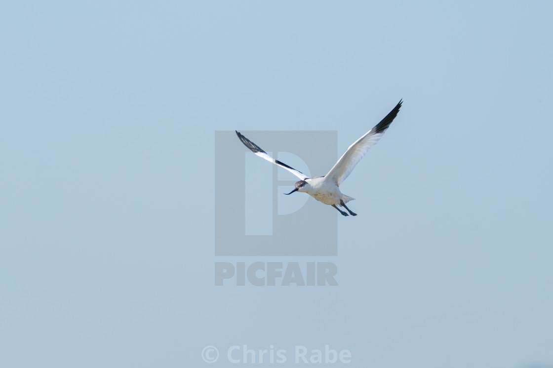 """Pied Avocet (Recurvirostra avosetta) in flight on a sunny summer day in England"" stock image"